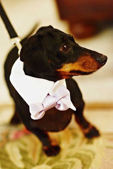 weiner dog ring bearer