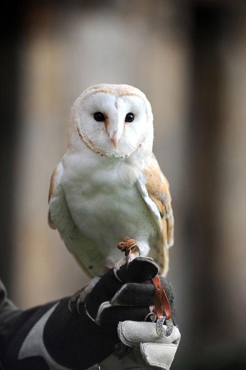 owl_ringbearer_web