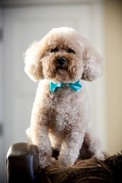blue dog bow tie