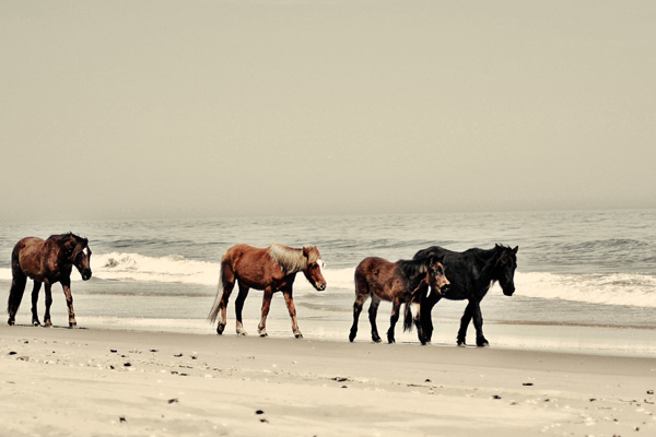 obx horse