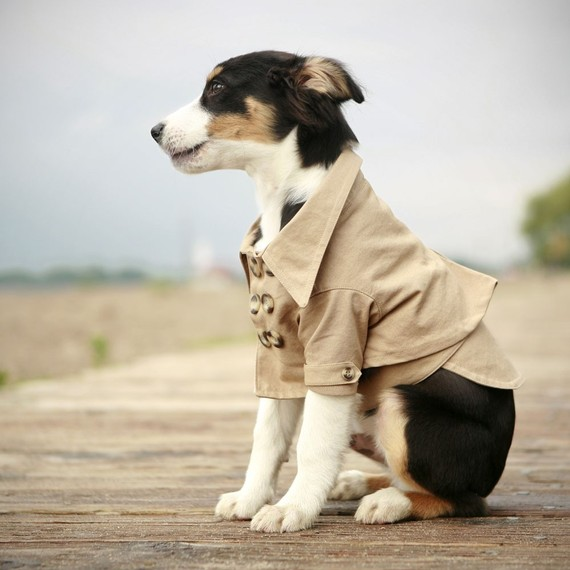 dog in trench coat