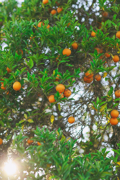 orange tree in San Juan Capistrano