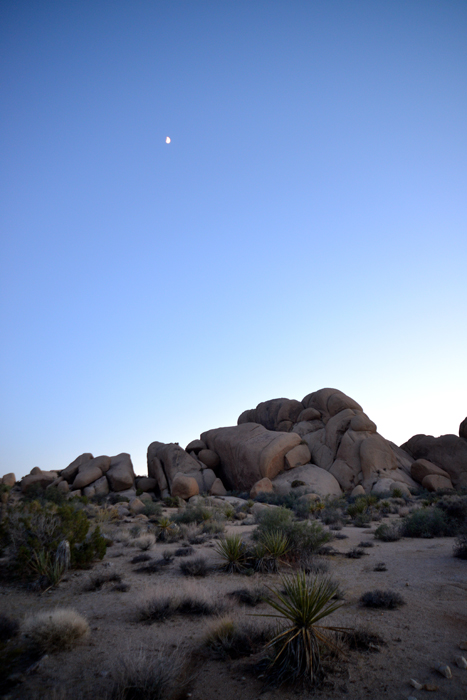 californa joshua tree