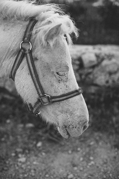 Croatian horse