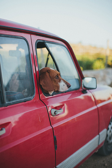 dog in red car