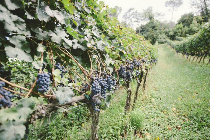 florence vineyard