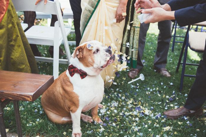 bulldog at wedding
